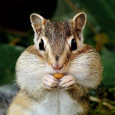 Chipmunks Prepare Winter on Hibernation Activities